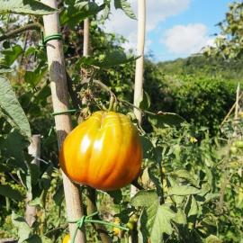 wpid-tuscan-tomato.jpg.jpeg